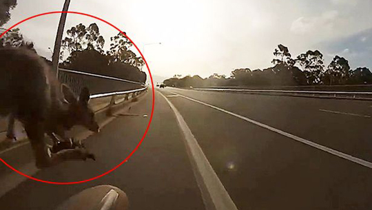 Kangaroo-knocks-person-off-bike